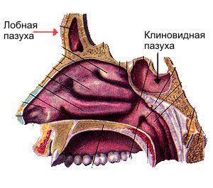 Расположение клиновидной пазухи