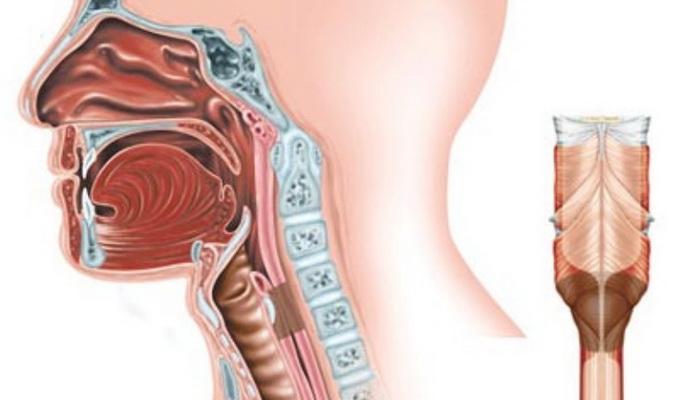 Внутреннее строение горла человека: схема, фото и описание, как устроены изнутри глотка и гортань